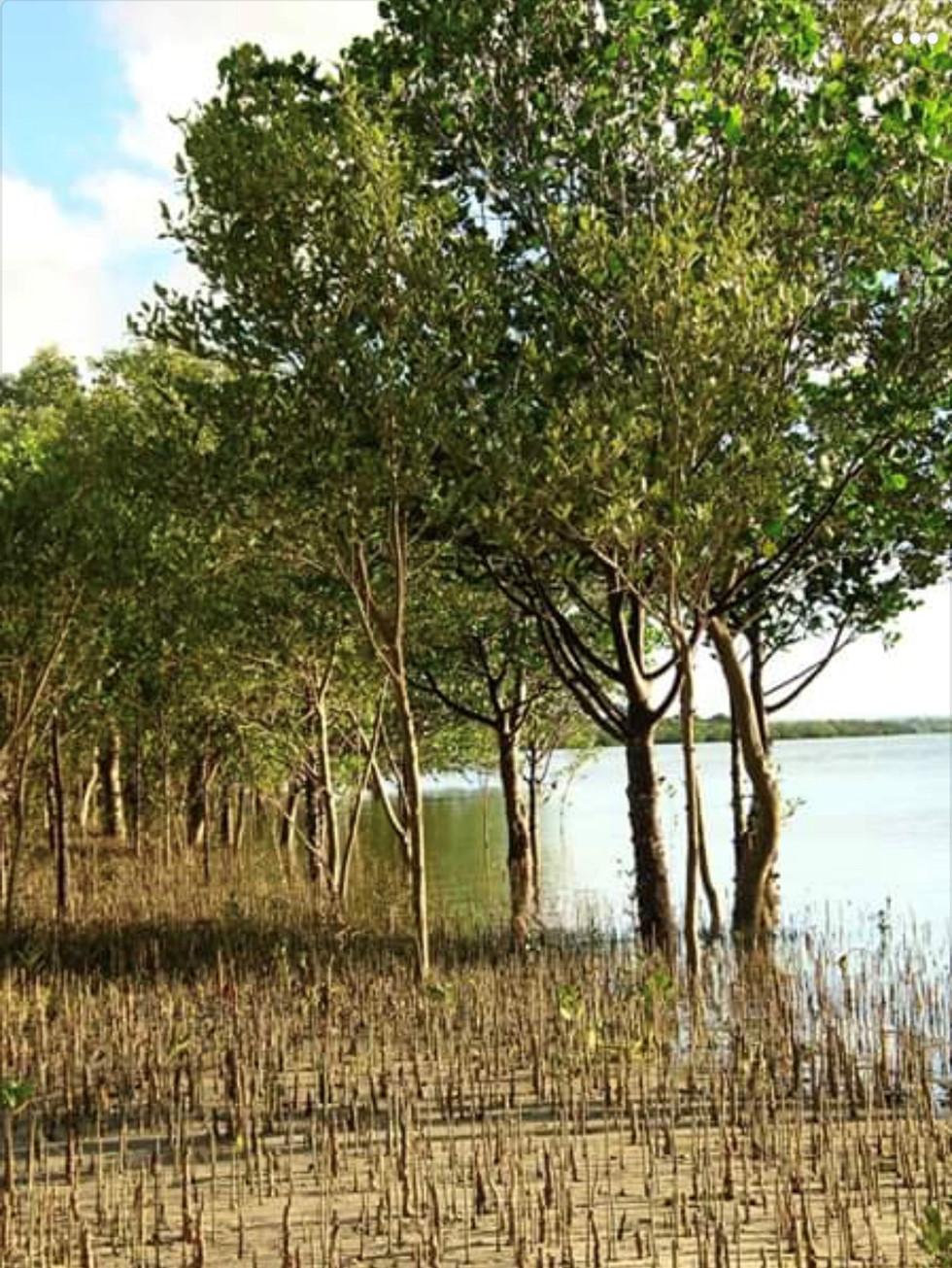 MANGROVE FORESTS 6.jpg