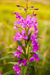 Fireweed Blooms IV