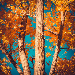 Cottonwood Autumn | New Mexico