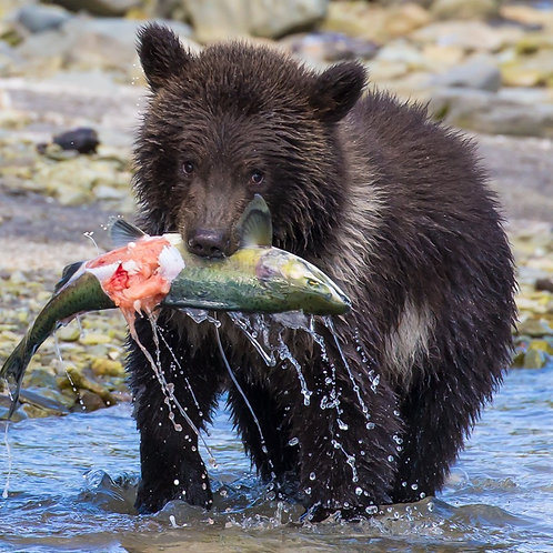 Alaska Brown Bear Cub | The Little Fisherman 2