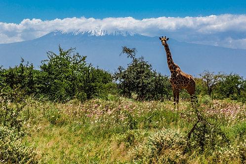 Giraffe and Kilamanjaro   Vivid Metal Print   From $99