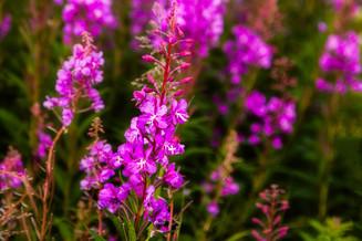 Fireweed Blooms VI
