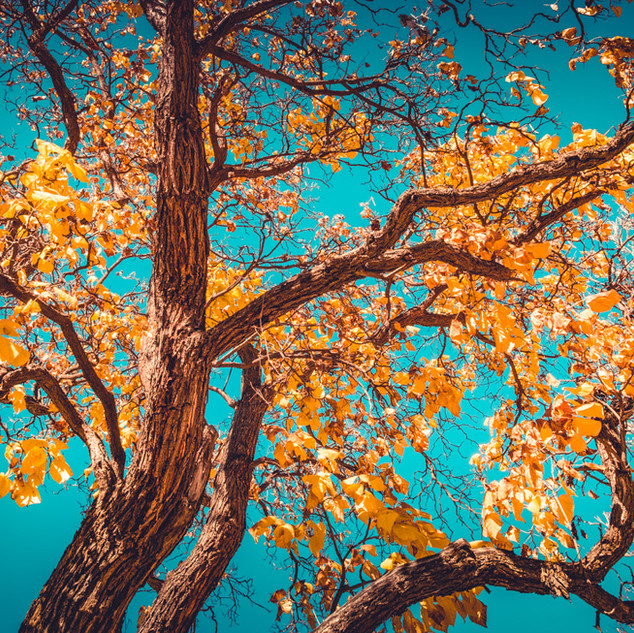 Cottonwood Autumn 2 | New Mexico