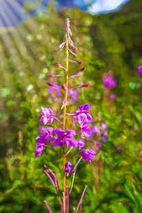 Fireweed Blooms V