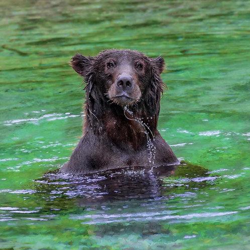 Alaska Brown Bear | Chunky Dunk | Vivid Metal Print