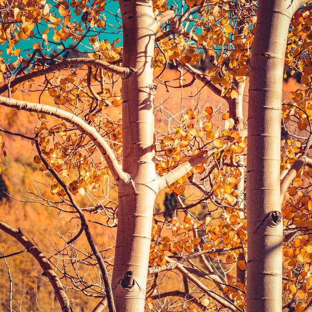 Aspens in Autumn | Ghost Ranch, New Mexico
