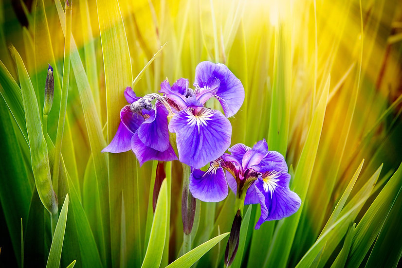 Morning with the Iris  | Vivid Metal Print | From $99 to $599