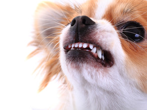 Little Dog Syndrome: Why Does My Small Dog Dislike Big Dogs?