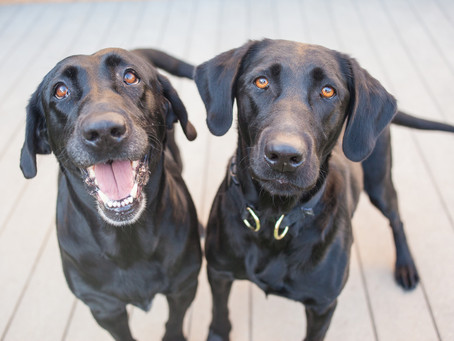 Living with Multiple Dogs; Jealousy or Hierarchy