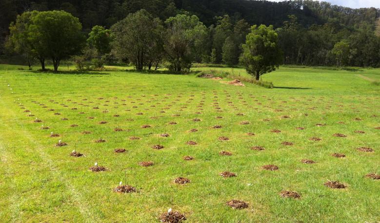 Gold Coast Hinterland - Koala Plantation Establishment