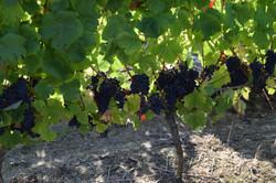 Un pied de vigne de Tannat