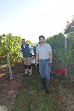 Rémi et Brice MOUTON vendange vigne