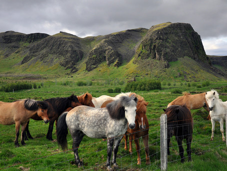 Icelandic Horse: Get to Know Your Equine Breeds