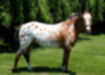 Fiona Appaloosa Conformation.jpg