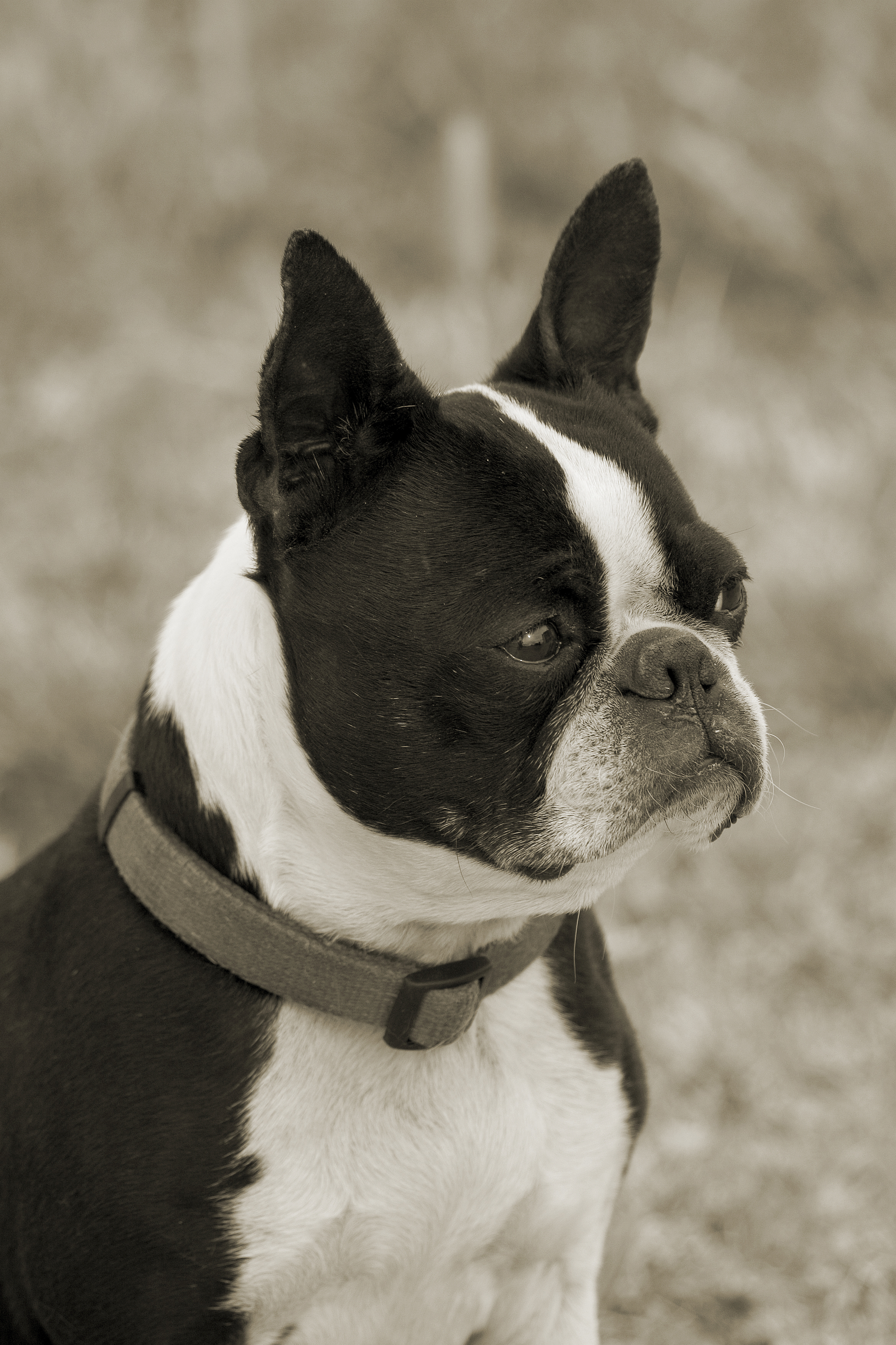 Lone Spur Bostons | Boston Terrier Puppies Montana
