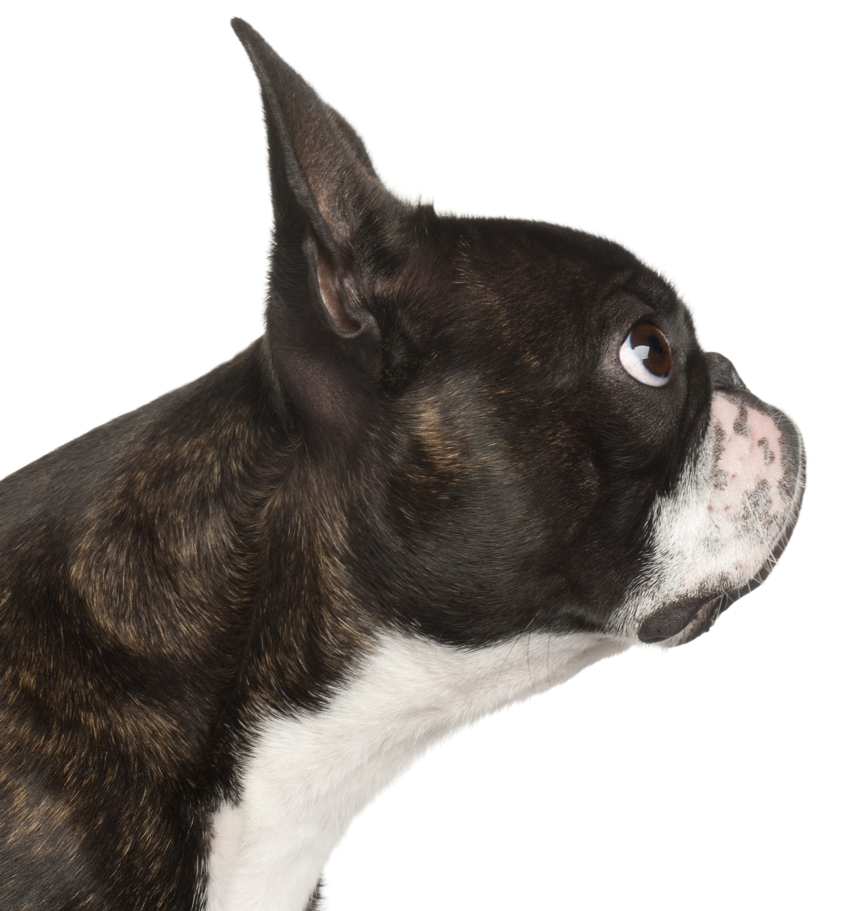 Boston Terrier, 1 yr old