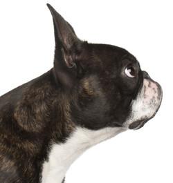 Boston Terrier, 1 yr old
