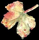 grape-leaf-watercolor.png
