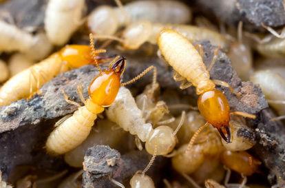 Termites-1024x675.jpg