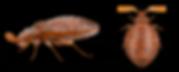 bedbugprofile.png