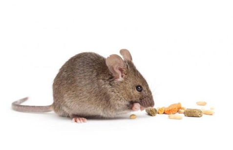 house-mouse-in-pennsylvania_1.jpg