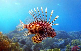 Toxinas del pez león, potencial para ayudar a entender el proceso del Alzheimer