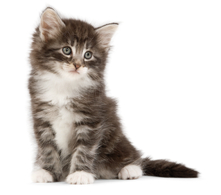 ¿Estás listo para un gatito en casa?