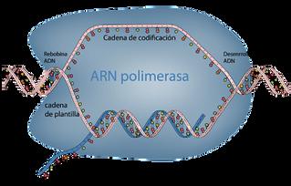 ARN, el mensajero que vino a revolucionar la medicina