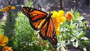 Unidos por conservación de flores silvestres y la mariposa Monarca