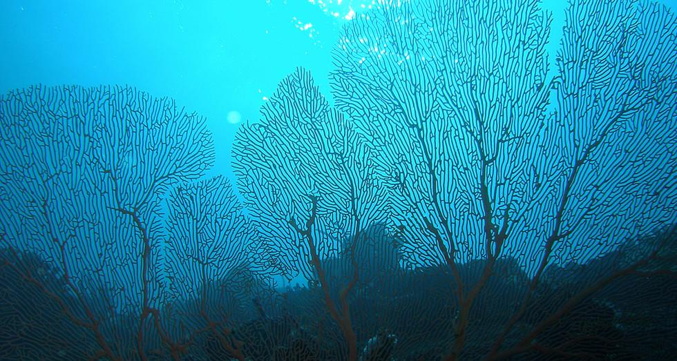 Gorgonian corals (Mayotte island)