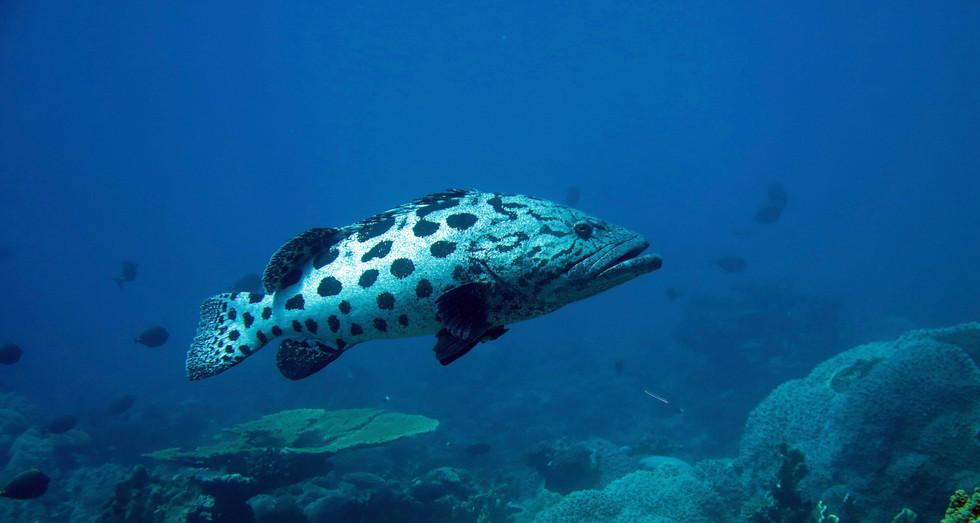 Potato grouper (E. tukula)