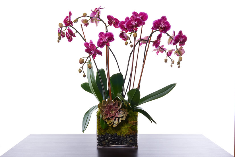 MultiStem Orchid with Succulent