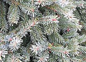 Black Hills Spruce 275x200.jpg