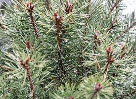 Scotch Pine 275x200.jpg