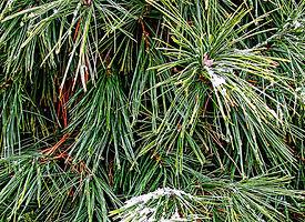 White Pine 275x200.jpg
