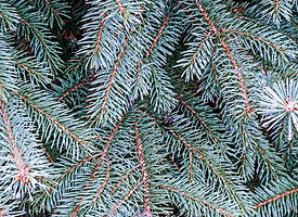 Blue Spruce 275x200.jpg