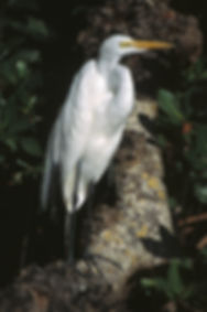 Great Egret In The Mangroves.jpg
