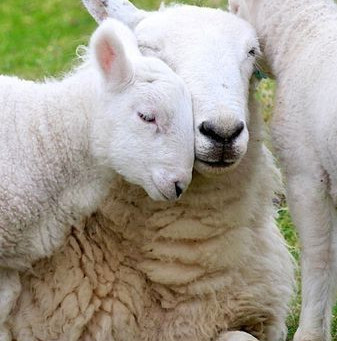 Don't Sacrifice Lambs this Easter Help us SAVE THEM!