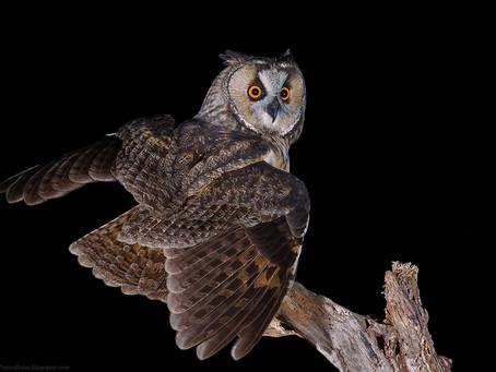 Il Gufo comune arriva a Madeira: nasce un enigma ornitologico degno di Sherlock Homes
