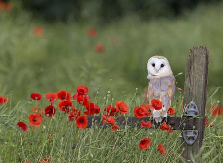 Una bella notizia dal Regno Unito: la popolazione dei Barbagianni è in crescita