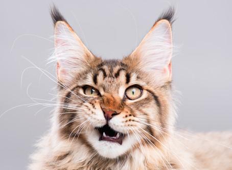 Lascia il tuo gatto a bocca aperta!