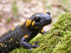 fire salamander head shutterstock_50762311