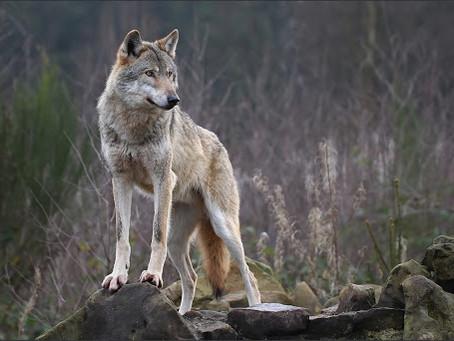 I metalupi non sono lupi ma cani!