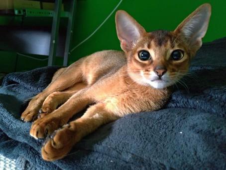 10 curiosità sul gatto Abissino