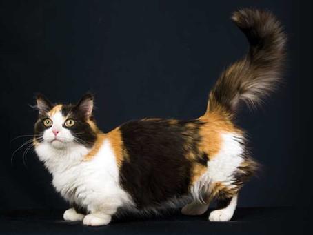 Munchkin: il famoso Gatto bassotto!