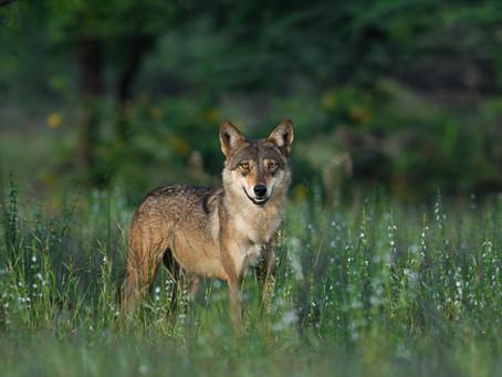 Lupo himalayano: sottospecie o nuova specie?