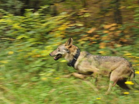 Il lupo in Italia: situazione attuale e prospettive future