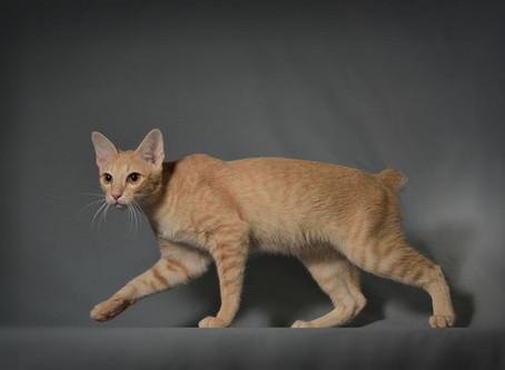 Conoscete il Gatto Khmer?