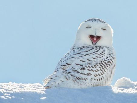 Il Gufo delle nevi è destinato ad estinguersi?