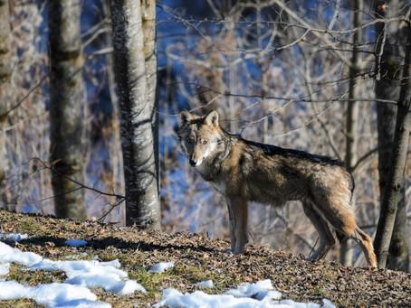 Ambrogio e Diana sono liberi! I due lupi salvati e curati sono stati rimessi in libertà!